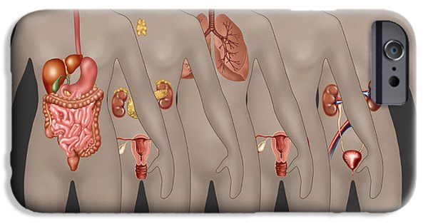 Sigmoid Colon iPhone Cases - Organ Systems In Female Anatomy iPhone Case by Gwen Shockey
