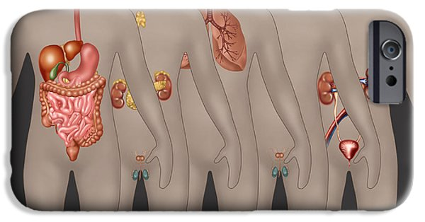 Sigmoid Colon iPhone Cases - Organ Systems In Male Anatomy iPhone Case by Gwen Shockey