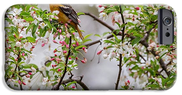 Oriole iPhone Cases - Oriole In Crabapple Tree Square iPhone Case by Bill  Wakeley