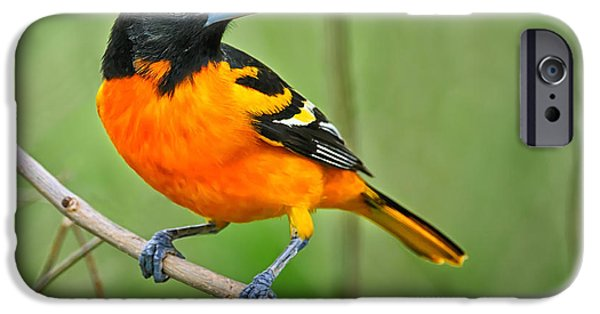 Wildlife Photographer iPhone Cases - Oriole Perched iPhone Case by Timothy Flanigan