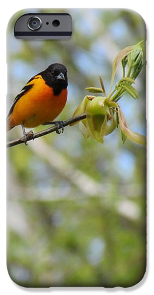 Oriole iPhone Case by Randi Shenkman