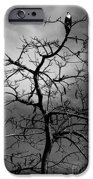 Lynda Dawson-youngclaus Photographer iPhone Cases - Osprey Atop A Poinciana iPhone Case by Lynda Dawson-Youngclaus
