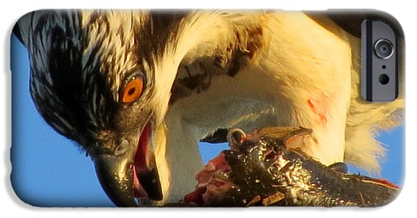 East Dennis Ma iPhone Cases - Osprey in August iPhone Case by Dianne Cowen