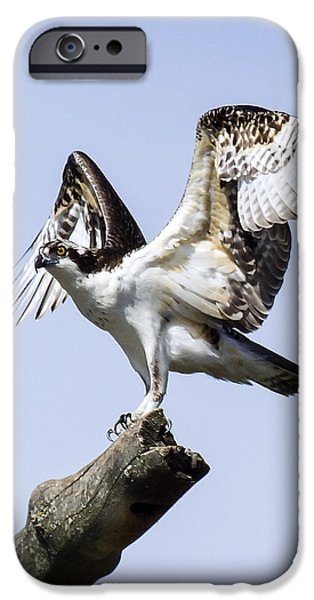 United iPhone Cases - Osprey Pride 6 iPhone Case by David Lester