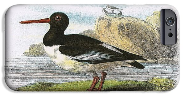 Birds iPhone Cases - Oyster Catcher iPhone Case by English School