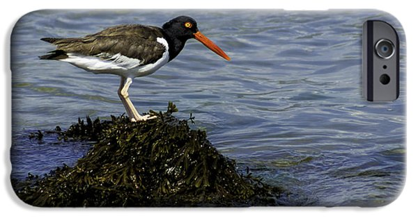 Sea Birds iPhone Cases - Oyster Catching iPhone Case by Joe Geraci