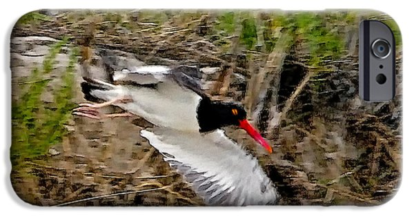 Chatham iPhone Cases - Oystercatcher 4 iPhone Case by Constantine Gregory