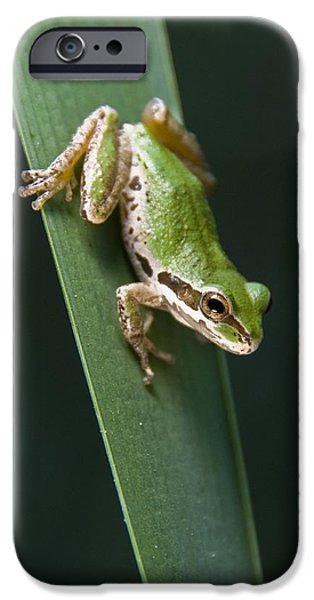 Pacific Tree Frog Pseudacris Regilla iPhone Case by Jack Goldfarb