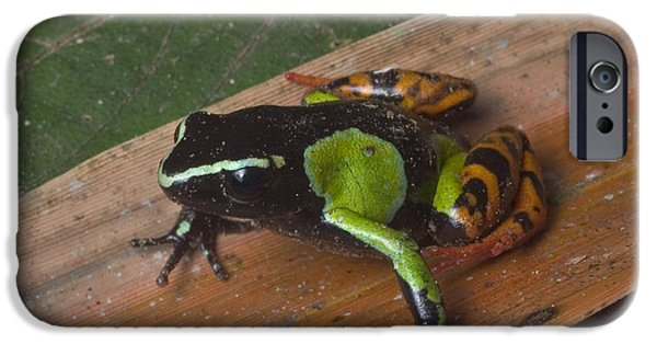 Anuran iPhone Cases - Painted Mantella Frog iPhone Case by Greg Dimijian
