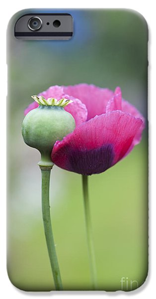 Papaver Somniferum Poppy and Seed Pod iPhone Case by Tim Gainey