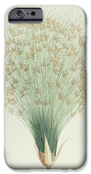 Flora Drawings iPhone Cases - Papyrus iPhone Case by James Bruce