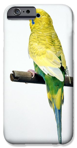 Parakeet iPhone Cases - Parakeet iPhone Case by Aaron Haupt