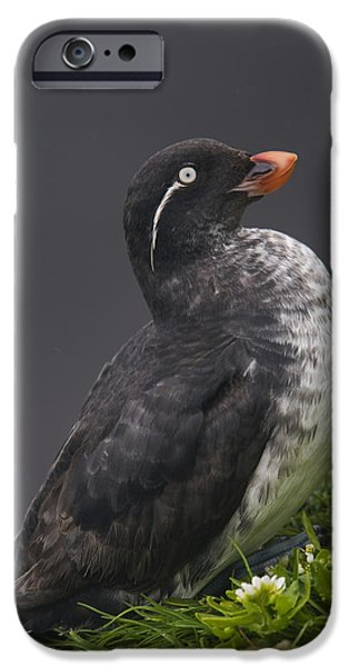 Ledge iPhone Cases - Parakeet Auklet Sitting In Green iPhone Case by Milo Burcham