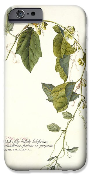 Tendrils iPhone Cases - Passion Flower iPhone Case by Georg Dionysius Ehret
