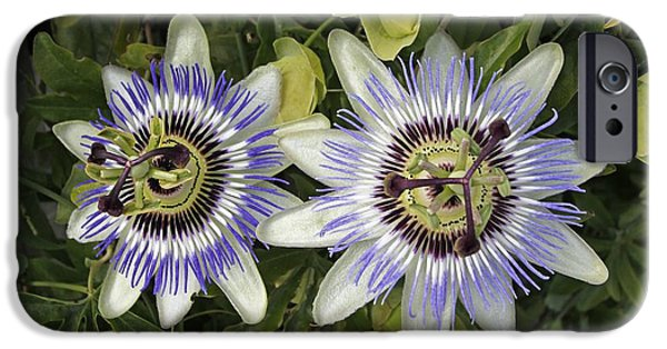 Passiflora iPhone Cases - Passion Flower Hybrid Cultivar iPhone Case by Tony Craddock