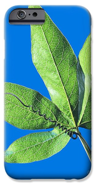 Passiflora iPhone Cases - Passion Flower Leaf iPhone Case by Martyn F. Chillmaid