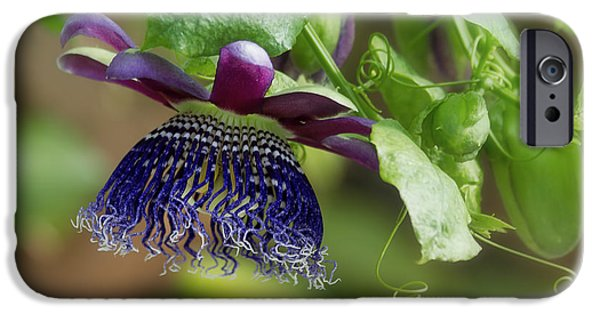 Passiflora iPhone Cases - Passion Flower - Ruby Glow iPhone Case by Kim Hojnacki