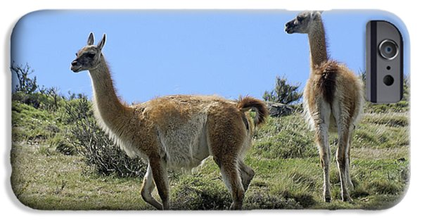 Llama iPhone Cases - Patagonian Guanacos iPhone Case by Michele Burgess