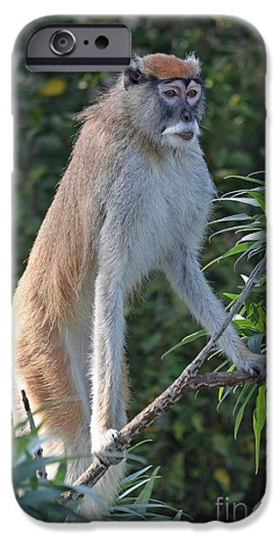 Preditor iPhone Cases - Patas Monkey on High Alert iPhone Case by Jim Fitzpatrick