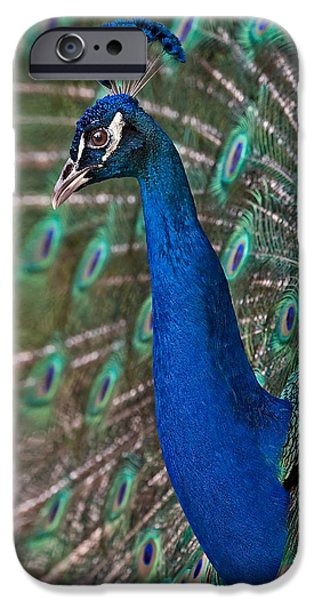 Peacock Display iPhone Case by Susan Candelario