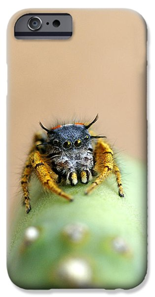 Jumping Spiders iPhone Cases - Peek-a-Boo iPhone Case by Bill Morgenstern