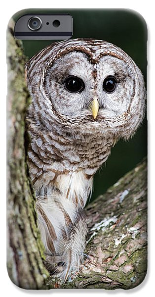 Barred Owl iPhone Cases - Peeping iPhone Case by Dale Kincaid