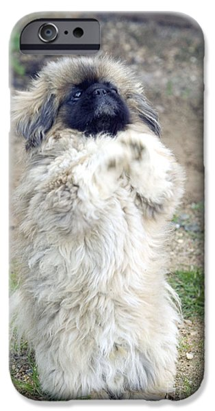 Pekingese iPhone Cases - Pekingese Begging iPhone Case by Jean-Michel Labat