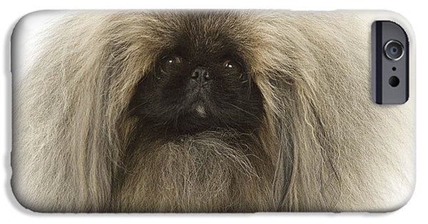 Pekingese iPhone Cases - Pekingese Dog iPhone Case by Jean-Michel Labat