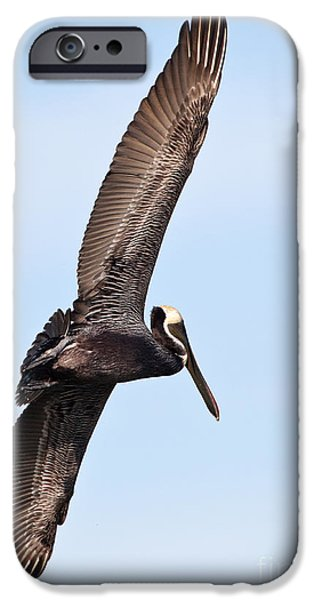 Michelle iPhone Cases - Pelican in Flight iPhone Case by Michelle Wiarda
