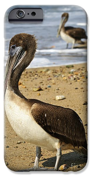 Pelicans iPhone Cases - Pelicans on beach in Mexico iPhone Case by Elena Elisseeva