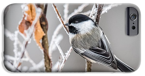 Winter Scene iPhone Cases - Perched Black Capped Chickadee iPhone Case by Paul Freidlund