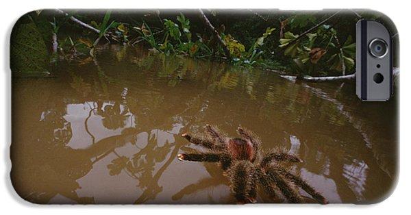 Wildlife Disasters iPhone Cases - Peruvian Pinktoe Tarantula Peru iPhone Case by Mark Moffett