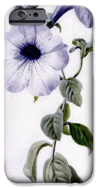 Petals Drawings iPhone Cases - Petunia iPhone Case by Marie-Anne