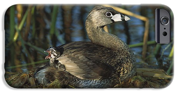 Animals Photographs iPhone Cases - Pied-billed Grebe With Chick Texas iPhone Case by Tom Vezo