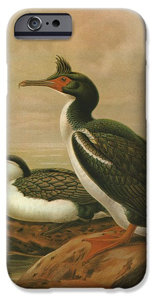 Chatham iPhone Cases - Pied Shag and Chatham Island Shag iPhone Case by J G Keulemans