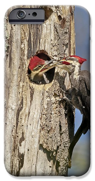 Feeding Birds iPhone Cases - Pileated Woodpecker and Chick iPhone Case by Susan Candelario