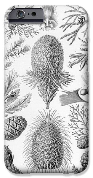 Diagram Paintings iPhone Cases - Pine Cones iPhone Case by Ernst Haeckel