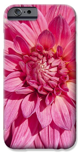 Pink Dahlia II iPhone Case by Peter French