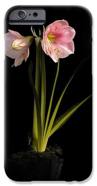 Pink Diamond Amaryllis iPhone Case by Claudio Bacinello