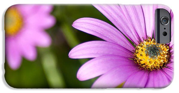 Purple Sensation iPhone Cases - Pink Osteospermum iPhone Case by Chay Bewley