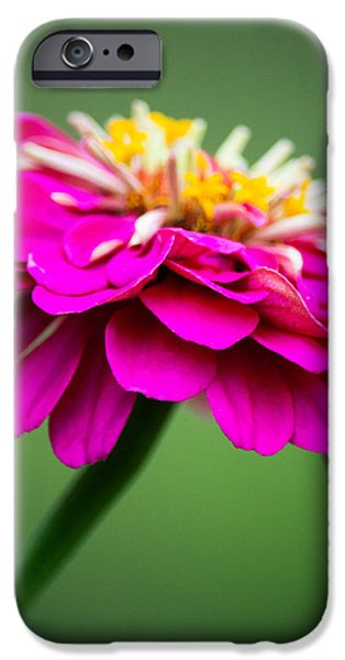 Zinnias iPhone Cases - Pink Zinnia iPhone Case by Parker Cunningham