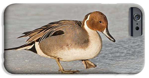 Recently Sold -  - Snow iPhone Cases - Pintail Duck iPhone Case by Susan Candelario