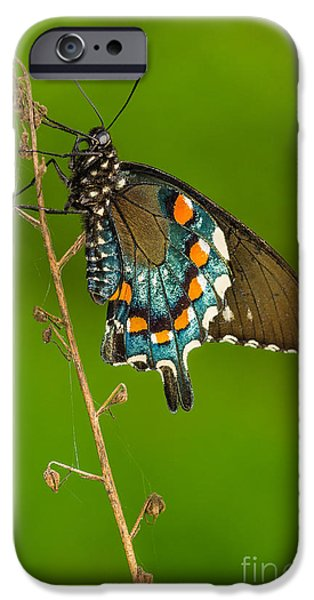Blue Swallowtail iPhone Cases - Pipevine Swallowtail iPhone Case by Anthony Heflin