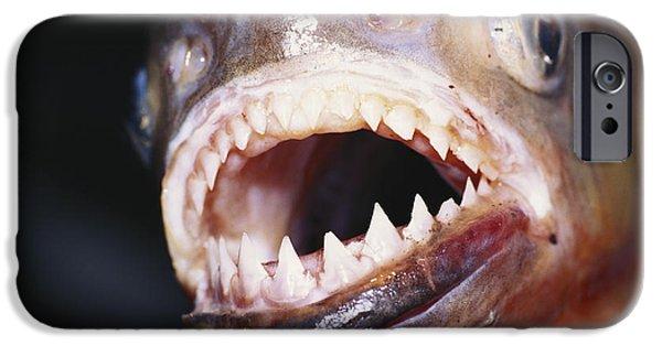 Piranha iPhone Cases - Piranha Teeth iPhone Case by Jany Sauvanet