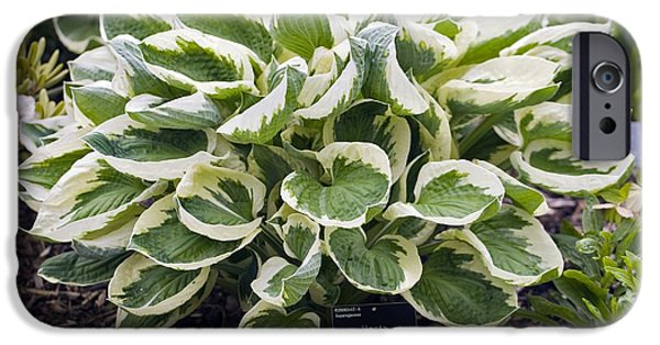 Patriots iPhone Cases - Plantain Lily (hosta patriot) iPhone Case by Dr Keith Wheeler