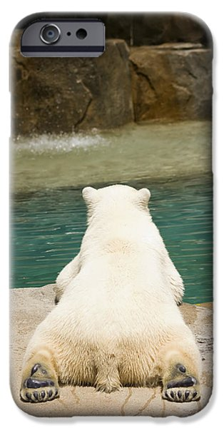 Nature Study iPhone Cases - Playful Polar Bear iPhone Case by Adam Romanowicz