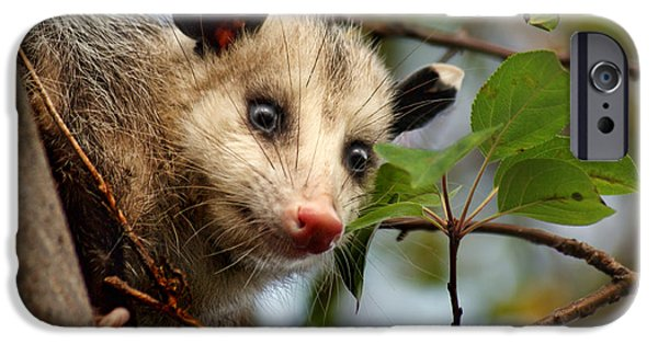 Instinct iPhone Cases - Playing Possum iPhone Case by Nikolyn McDonald