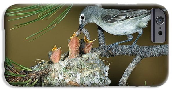 Feeds Chicks iPhone Cases - Plumbeous Vireo Feeding Worm To Chicks iPhone Case by Anthony Mercieca