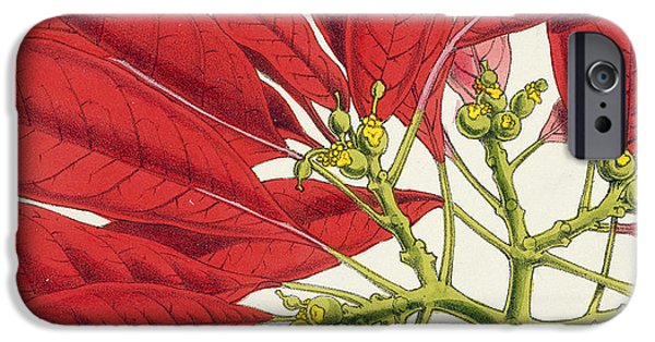Close Up Drawings iPhone Cases - Poinsettia Pulcherrima iPhone Case by WG Smith