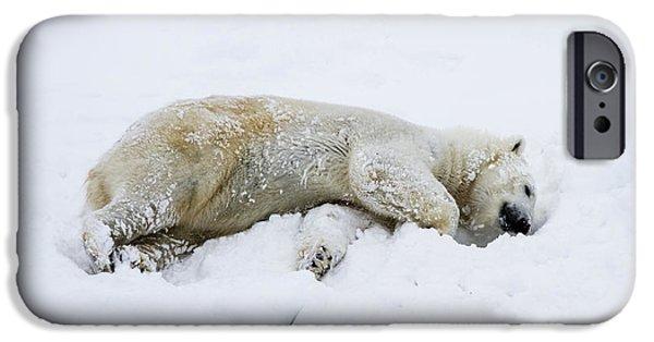 Lilachw iPhone Cases - polar bear Ursus maritimus iPhone Case by Lilach Weiss
